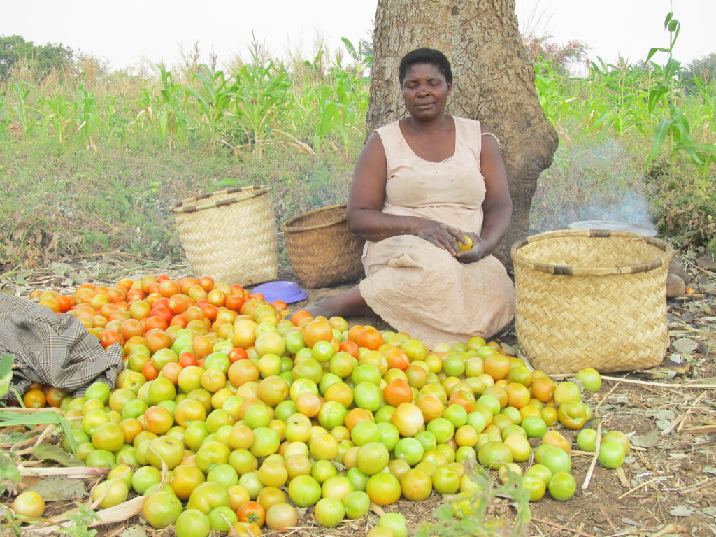 Productive: A lady farmer grading her tomatoes in her garden