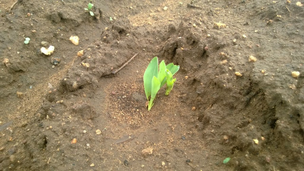 The seed germinated
