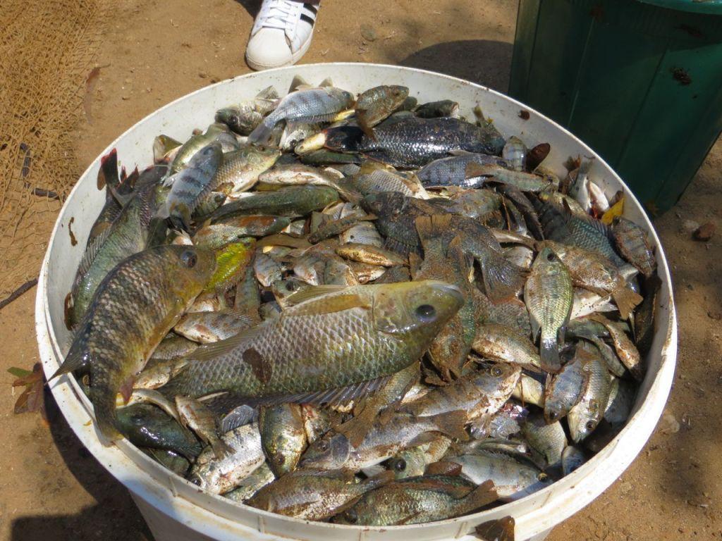 fishharvest3